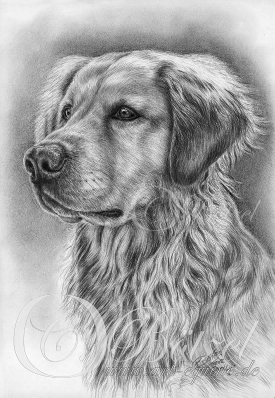 550Golden_Retriever_Shelly